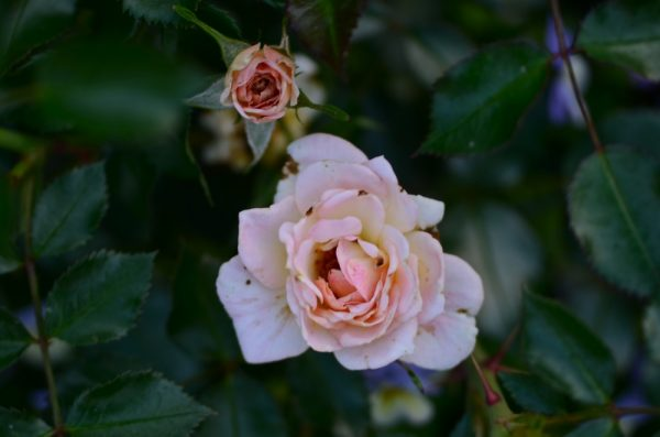 Rosa 'Tinneally' Miniature Rose, Jean Kenneally