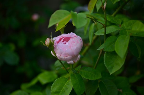 Fragrant old garden rose