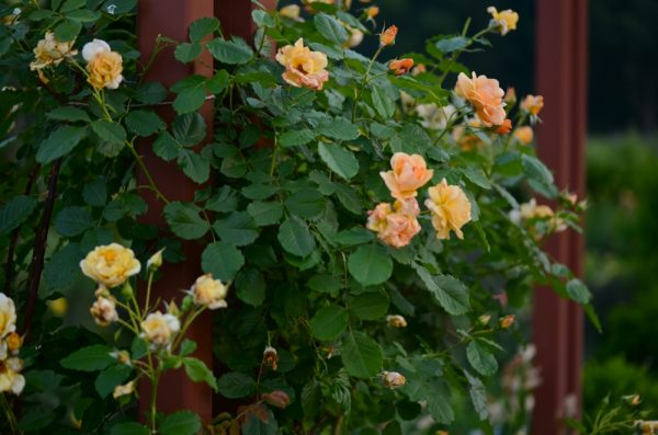 Unidentified rose climbing on pillars