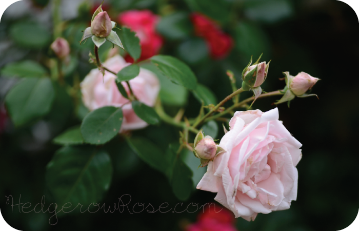 Post image for Growing 'New Dawn' Climbing Rose