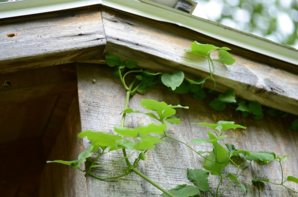 Clematis makes it's way to the roof of the shed