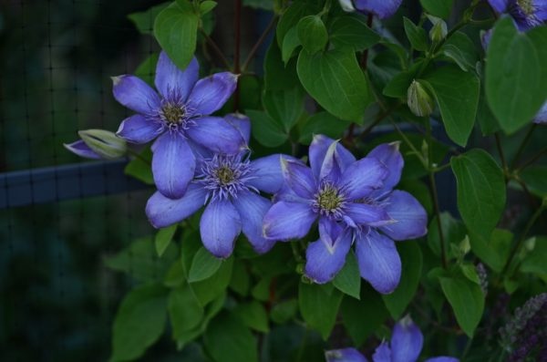 Clematis 'Blue Light'