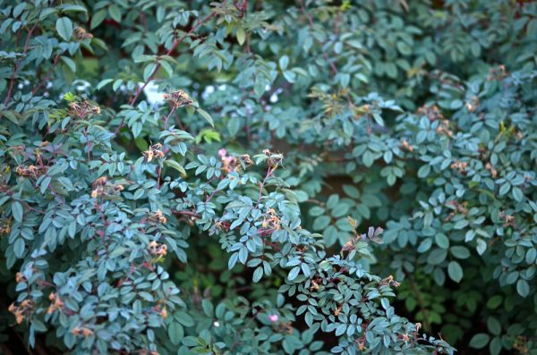 Rosa glauca species rose