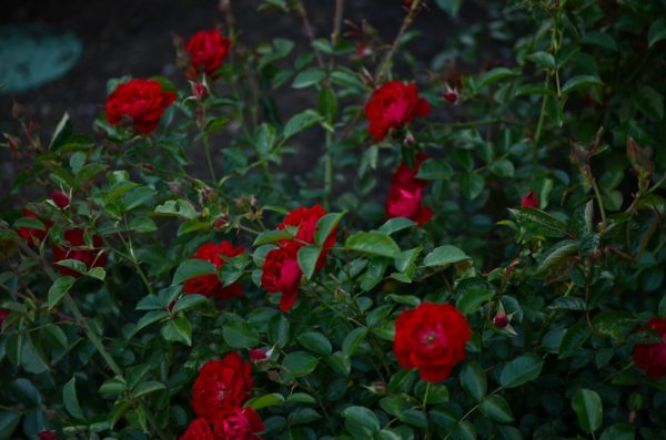 Rosa 'Kortemma' shrub rose