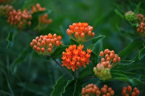 Asclepias tuberosa 'Butterfly-Weed' in the Pollinators Garden