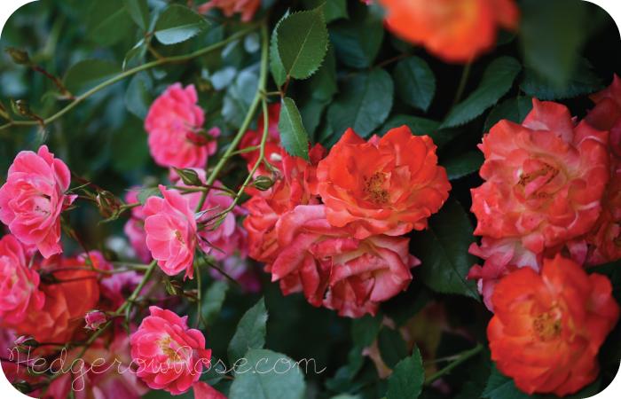 how to grow climbing roses