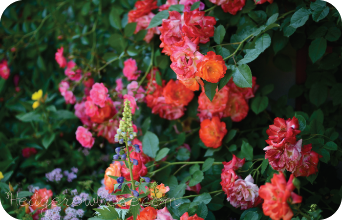 Post image for Growing Piñata Climbing Rose