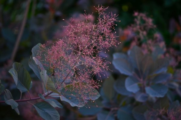Cotinus coggygria 'Royal Purple' Smoke Tree