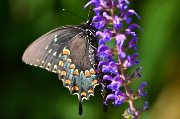 Black swallowtail butterfly on salvia
