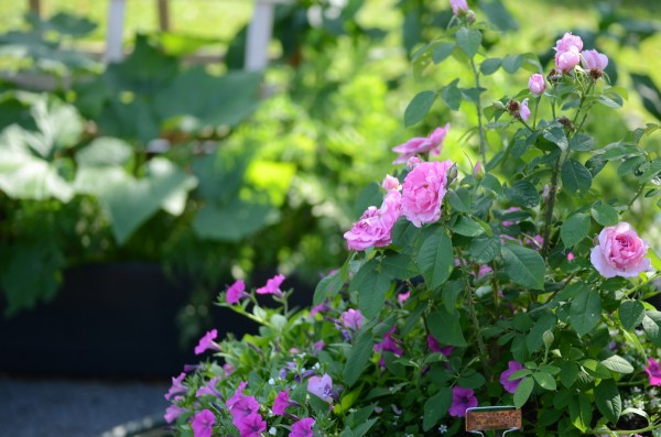 Patio garden: Roses in containers in the foreground and raised veggie bed in background