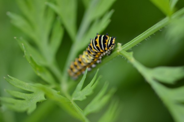 Black swallowtail butterfly larvae on carrot leaves