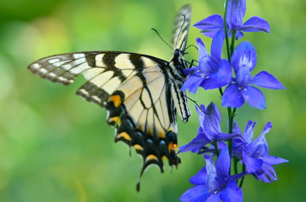Yellow Swallowtail on Larkspur