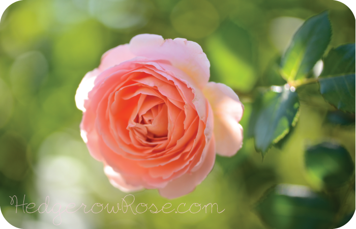 Post image for Growing David Austin's 'Abraham Darby' Rose