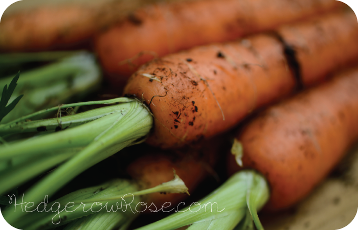 Post image for Growing Heirloom Carrots
