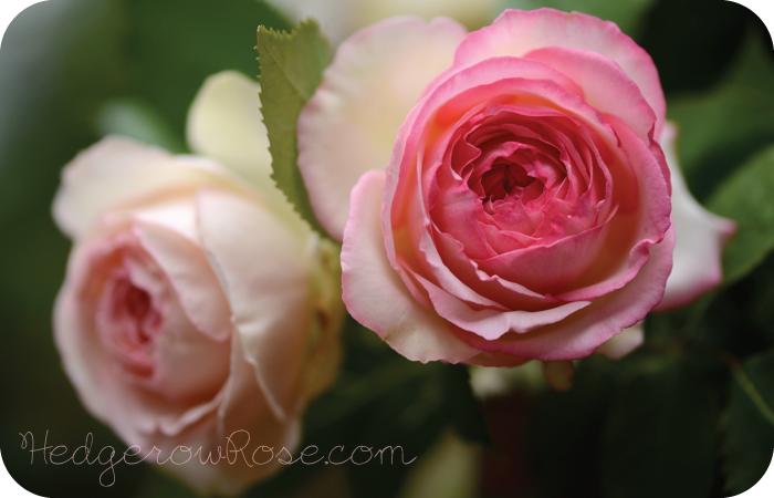 growing pierre de ronsard or eden rose. Black Bedroom Furniture Sets. Home Design Ideas