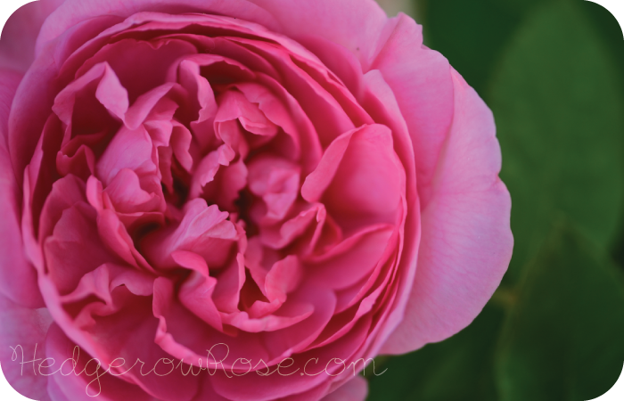 growing david austin s gertrude jekyll rose. Black Bedroom Furniture Sets. Home Design Ideas