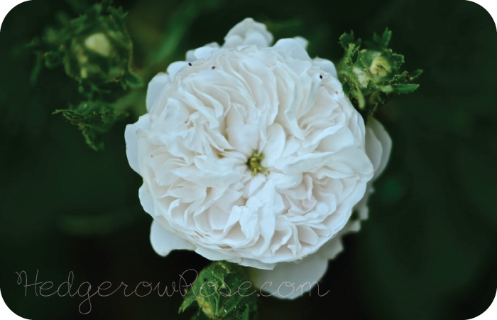 Post image for Growing 'Madame Hardy' Damask Rose