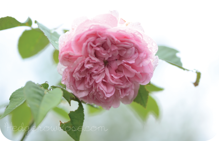 Post image for Growing Madame Ernest Calvat Rose