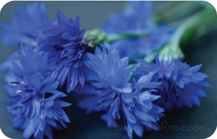 Post image for Growing Cornflowers