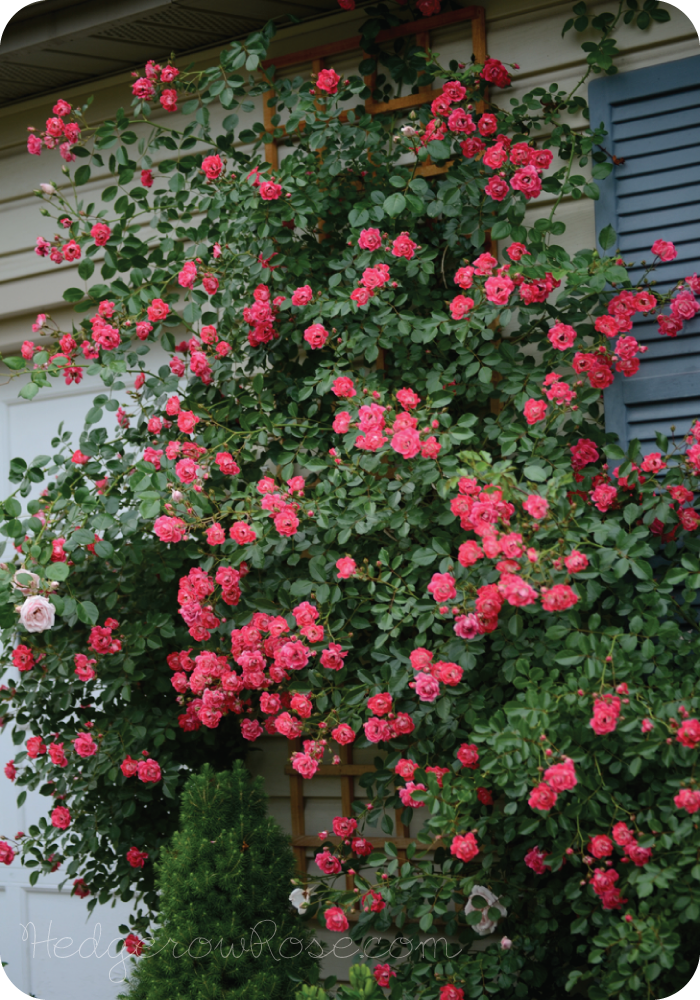 Post image for Growing a Flower Carpet® Rose as a Climber