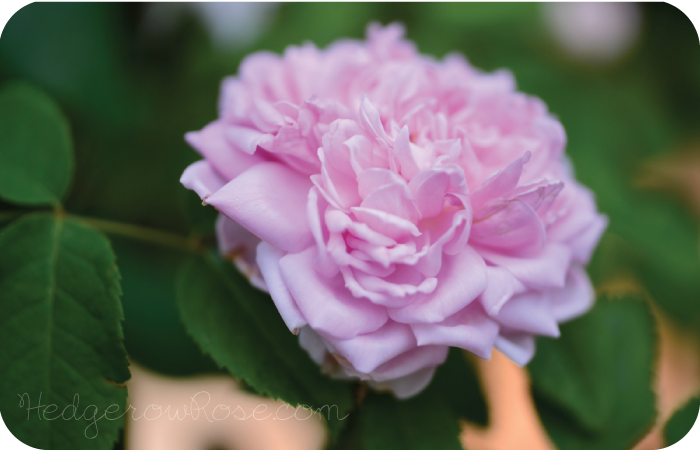 Post image for Introducing 'Marchesa Boccella' Rose