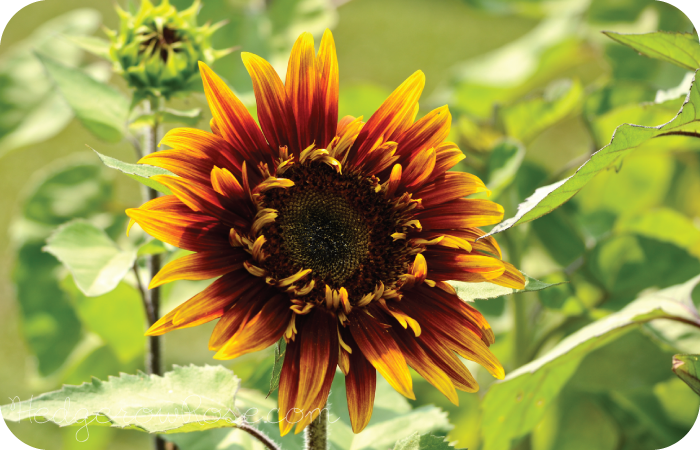 Post image for Growing Drop Dead Red Sunflowers