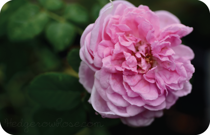 Post image for Introducing 'Comte de Chambord' Rose
