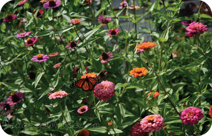 Post image for Growing 'Cut & Come Again' Zinnias