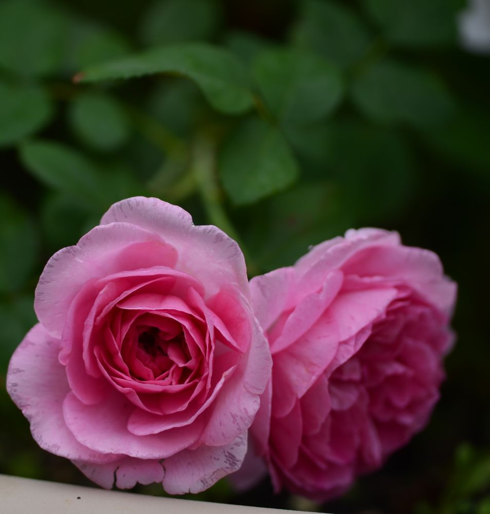 Gertrude Jekyll rose in the container garden
