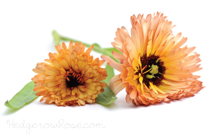 Post image for Growing Calendula officinalis 'Zeolights'