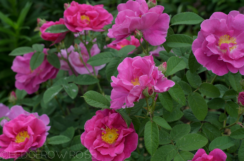 Apothecary's Rose   Types of Roses   Hedgerow Rose
