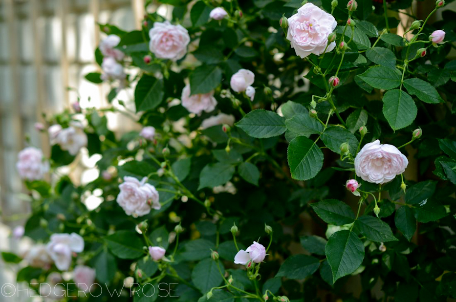 Arcata Pink Globe | Types of Roses | Hedgerow Rose
