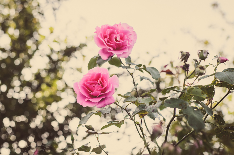 Carefree Beauty 1   Hedgerow Rose