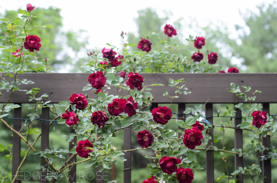 Dr Huey | Types of Roses | Hedgerow Rose