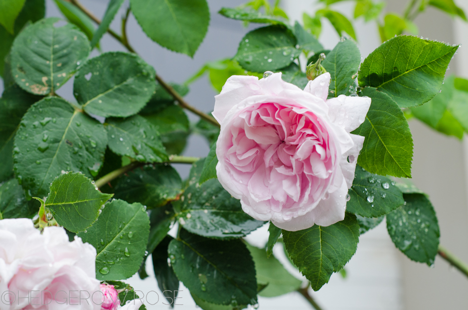 Fantin Latour   Types of Roses   Hedgerow Rose