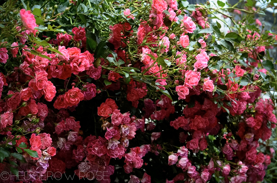 Flower Carpet Pink Supreme | Types of Roses | Hedgerow Rose
