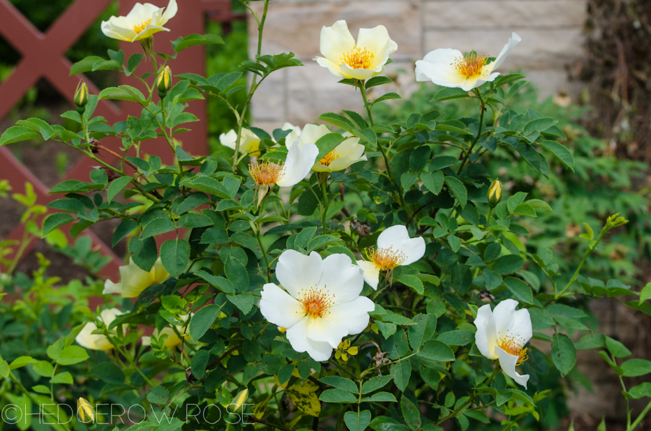 Golden Wings | Types of Roses | Hedgerow Rose