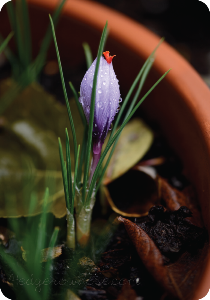 Post image for Crocus sativus