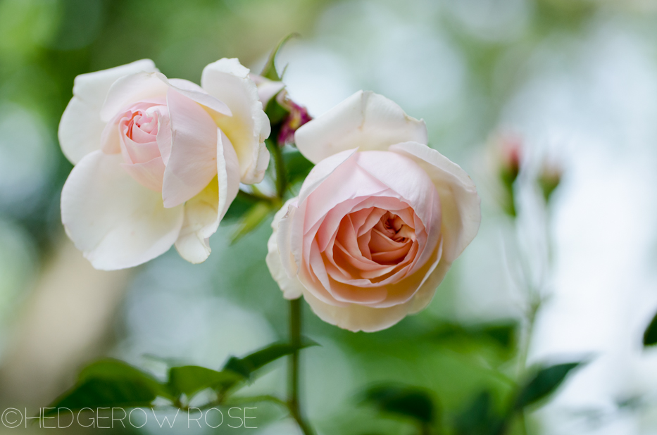 Heritage | Types of Roses | Hedgerow Rose