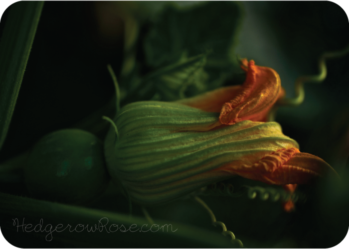 Post image for Growing Cucurbita maxima 'Lumina' Pumpkins