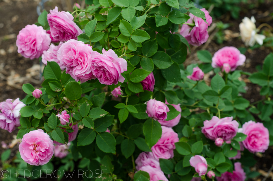 Reine Victoria | Types of Roses | Hedgerow Rose