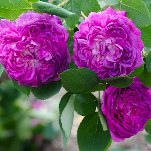 Reine des Violettes Hybrid Perpetual | Types of Roses | Hedgerow Rose