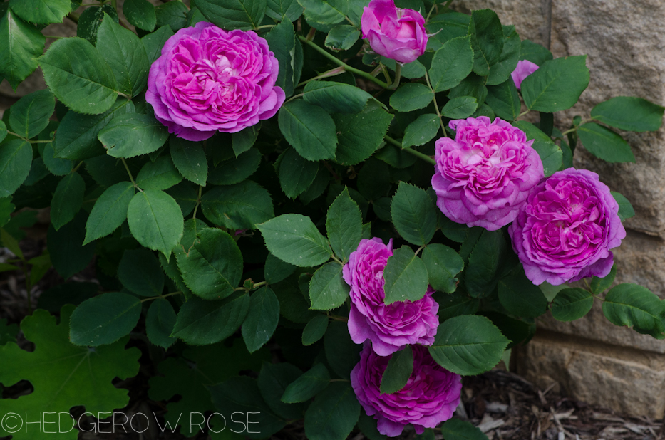 Reine des Violettes | Types of Roses | Hedgerow Rose