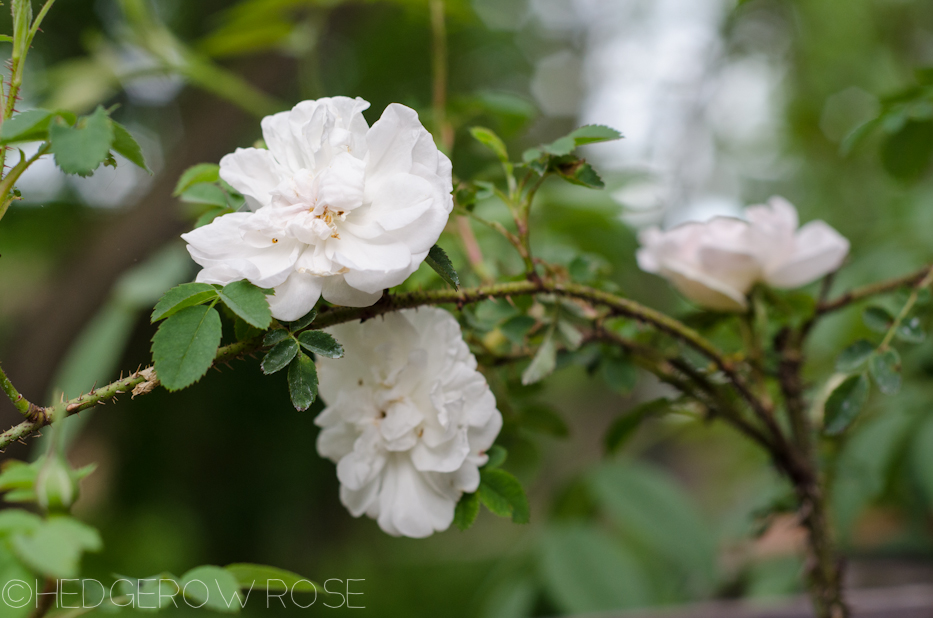 Stanwell Perpetual | Types of Roses | Hedgerow Rose