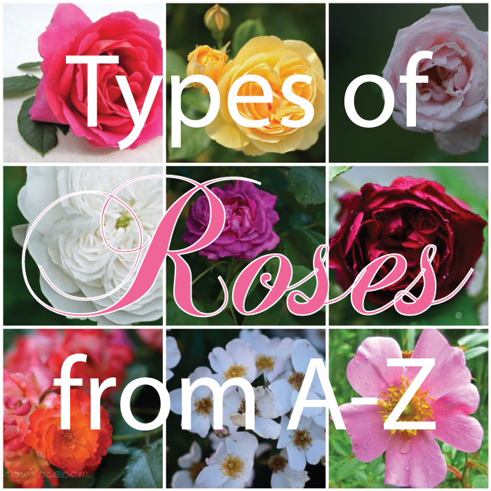 The gallery for --> All Types Of Roses