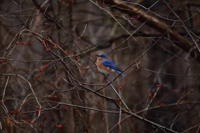 Post image for Bluebirds and Berries