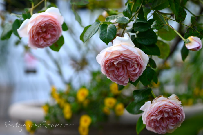 abraham-darby-rose-in-a-container
