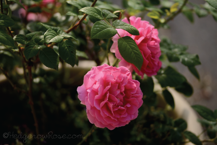 Post image for Growing David Austin's 'Gertrude Jekyll' Rose