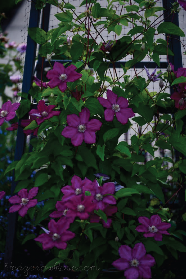 Post image for Plant Files: Clematis 'Kardynal Wyszynski'