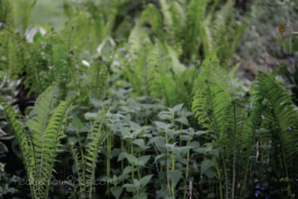 Ferns and Bee Balm